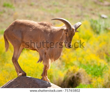 Barbary sheep standing on a rock in captivity at a zoo