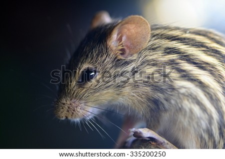Buffon striped grass mouse