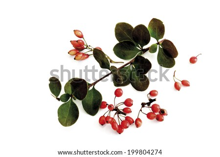 Barberries (Berberis vulgaris), close-up