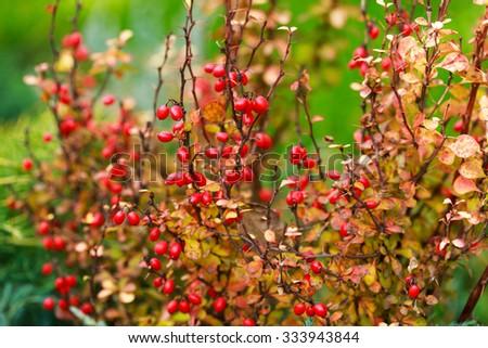 Barberry berries on bush in autumn season, shallow focus - stock photo