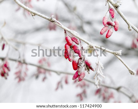 barberry covered with morning frost. Photo taken in October. - stock photo