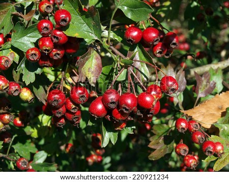 Barberry shrub with lot of ripe red berries - stock photo