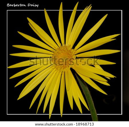 Barberton daisy - stock photo