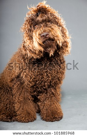 Barbet dog isolated on grey background. Brown French Water Dog. Studio shot. - stock photo