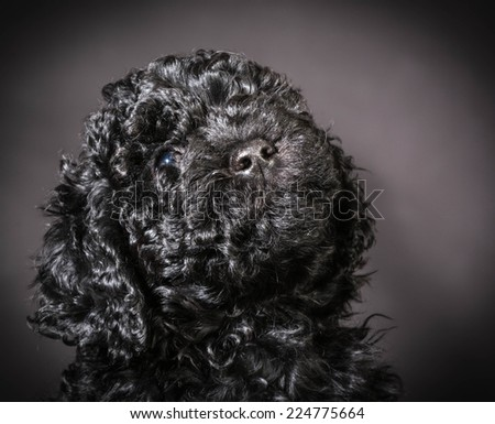 barbet puppy portrait looking up on black background - stock photo