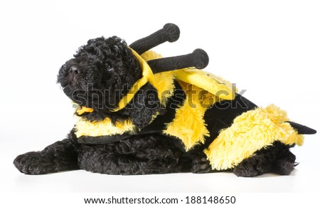 barbet puppy wearing bee costume on white background - stock photo
