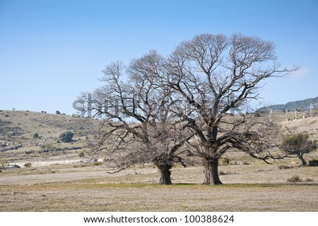 Bare chestnut trees in winter. Photo taken at the Zarzalejo countryside, Madrid, Spain.