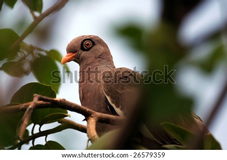Bare-eyed pigeon (Patagioenas corensis) hiding in a tree at Curacao