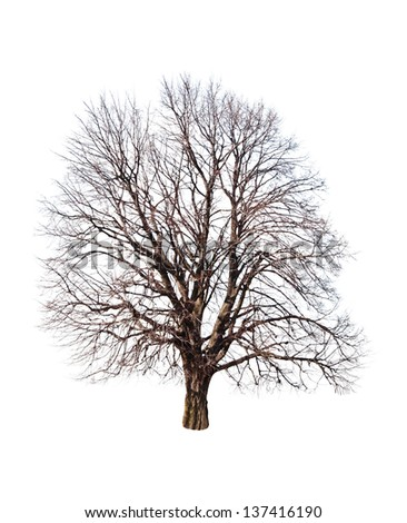 bare linden tree on white