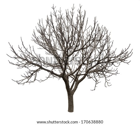 Bare tree isolated over white background