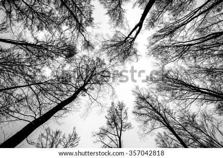Bare trees in the winter. Silhouettes of the bare beech trees against the cloudy sky, in black and white.