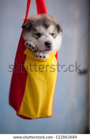 Barely a month old puppy, Alaska sled dog - stock photo