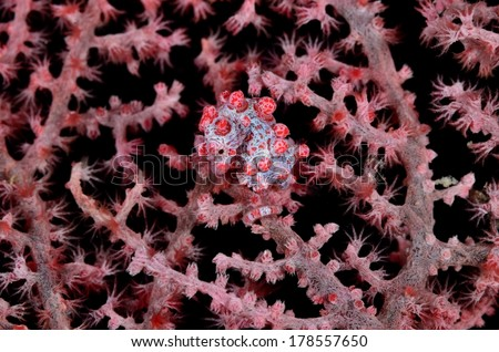 Bargibanti Pygmy Seahorse - stock photo