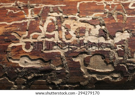 Bark beetle gallery engraving the tree trunk, close-up - stock photo