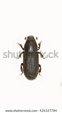Bark Beetle on white Background  -  Hylastes cunicularius (Erichson, 1836)  - stock photo