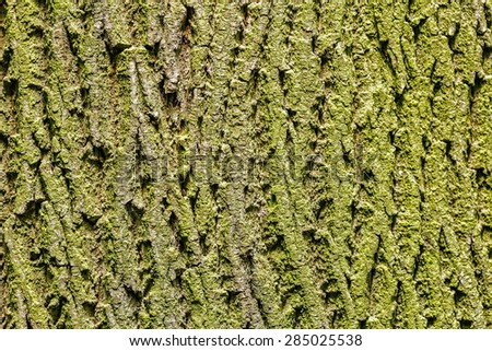 bark of maple - stock photo