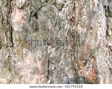 bark of old pine tree closeup