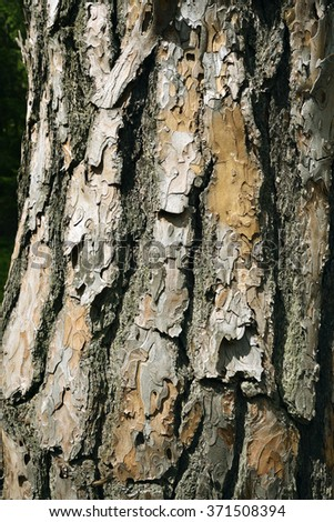 Bark of pine - stock photo