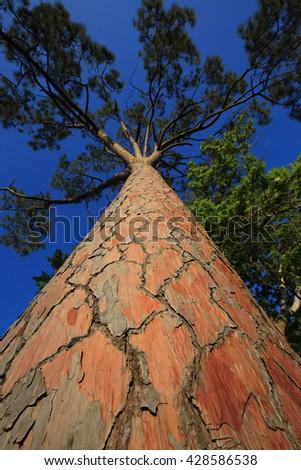 Bark of Pine Tree - stock photo