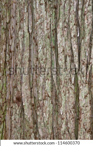 Bark of the China Fir Cunninghamia Lanceolata Vertical - stock photo