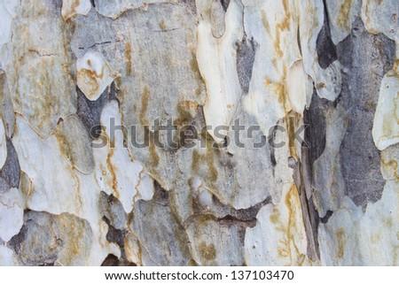 bark texture background australian eucalyptus tree - stock photo