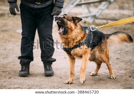 Barking Angry German Shepherd Dog on training - stock photo