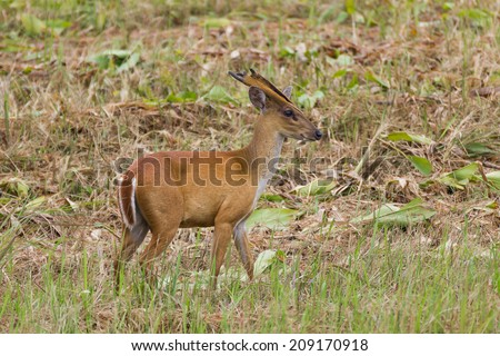 Barking deer also called fea's muntjac taken in native environment. Kao Yai National Park ,Thailand