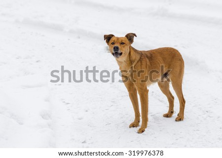 Barking mixed breed dog on a winter street