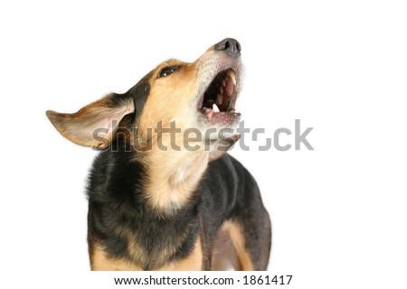 Barking mixed breed dog on white background. - stock photo