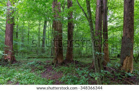 Barkless dead spruces in old summertime deciduous stand of Bialowieza Forest,Bialowieza Forest,Poland,Europe - stock photo