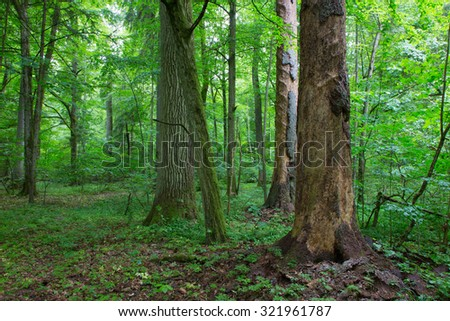 Barkless spruces and old oak in old summertime deciduous stand of Bialowieza Forest,Bialowieza Forest,Poland,Europe