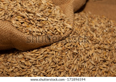 Barley beans. Grains of malt close-up. Barley on sacking background. Food and agriculture concept. - stock photo