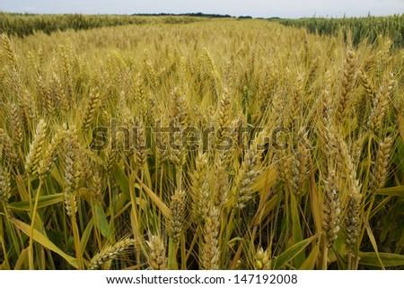 barley field  - stock photo