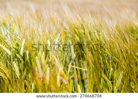 Barley field almost ripe for harvesting on a sunny summer day. - stock photo