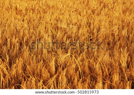 barley field background (agriculture, agronomy, industry)