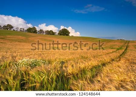 Barley field in evening sun - stock photo