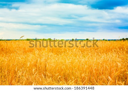 Barley Field With Shining Golden Barley Ears In Late Summer - stock photo