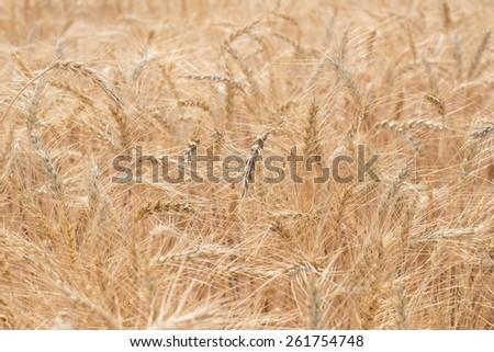 Barley Fields - stock photo