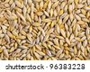 Barley grain (Hordeum). Barley is a major cereal grain, a member of the grass family. - stock photo