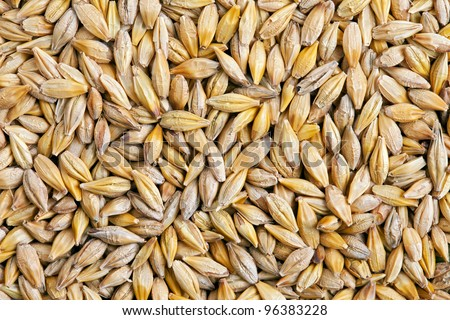 Barley grain (Hordeum). Barley is a major cereal grain, a member of the grass family.