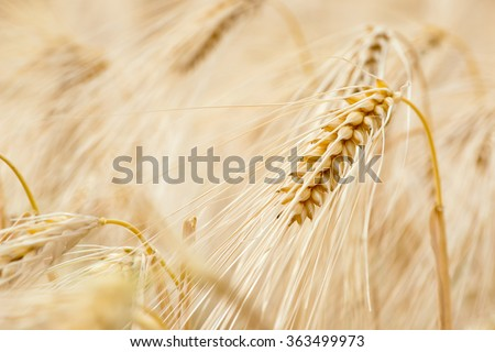 Barley Grain Is Used For Flour Barley Bread Barley Beer Some Whiskeys