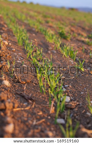 Barley Grain Starting to Grow - stock photo