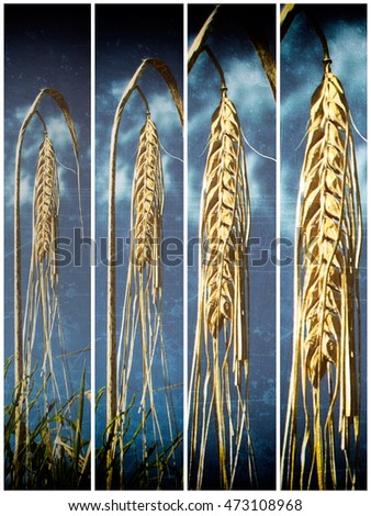 barley, heads in frames