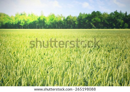 Barley meadow in summer day - stock photo