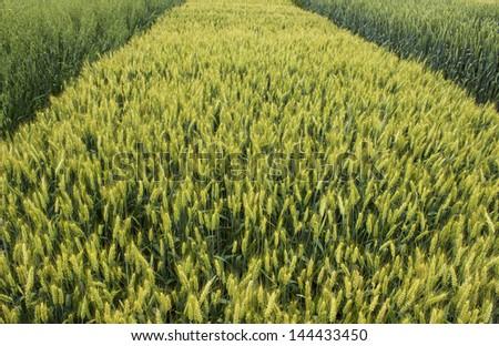barley oats wheat grain field - stock photo