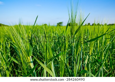Barley spikelet on the background of field and blue sky