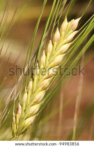 Barley - wheat. - stock photo