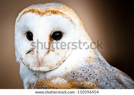 Barn owl - stock photo