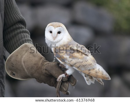 Barn Owl being flown by its owner - stock photo