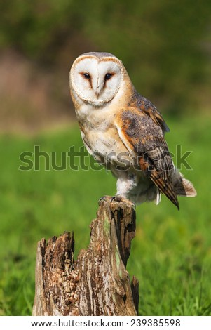 Barn owl facing the camera. A beautiful barn owl stares at the camera from its perch on a tree stump. - stock photo